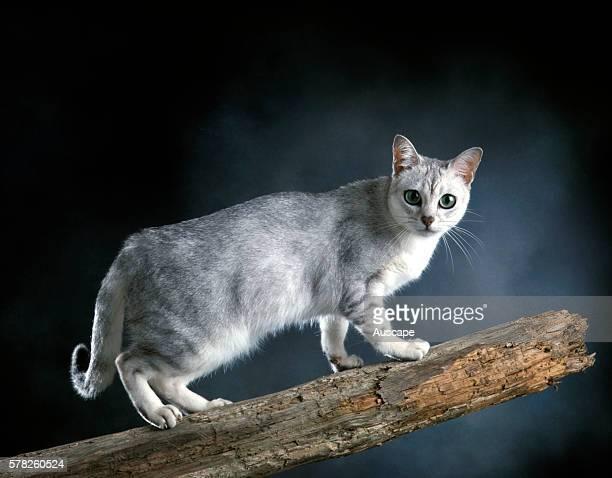 Burmilla cat Felis catus studio photograph