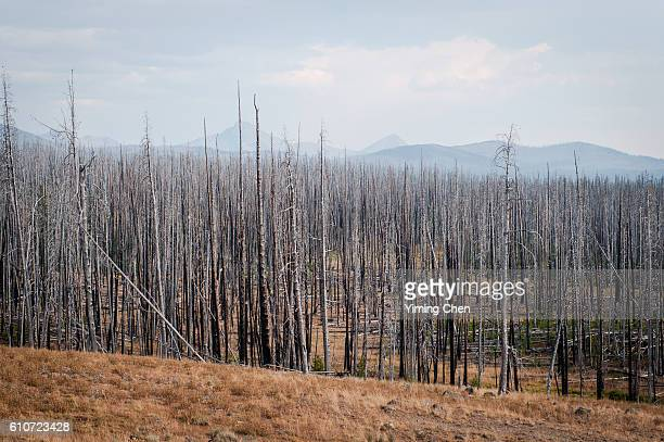 Burn Trees in Yellowstone National Park