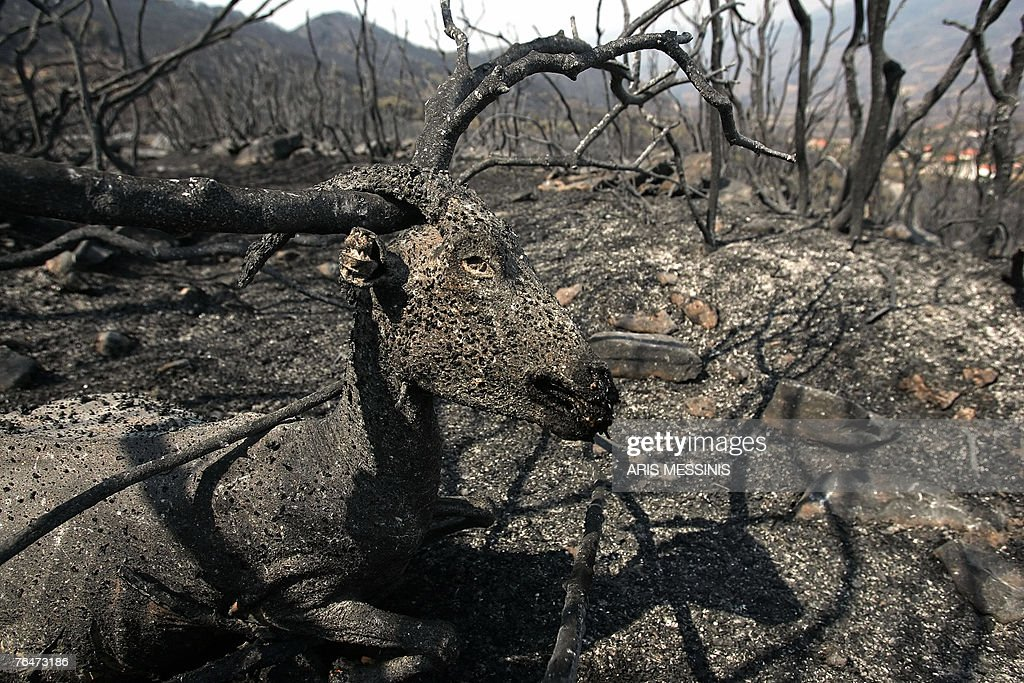 A burned goat lays dead outside the village of Mynthi in the Peloponnese peninsula, 01 September 2007. Greece's embattled Prime Minister Costas Karamanlis called for an overhaul of the state machinery following a series of unprecendented and ruinous summer blazes, as the toll climbed to 64. AFP PHOTO / Aris Messinis