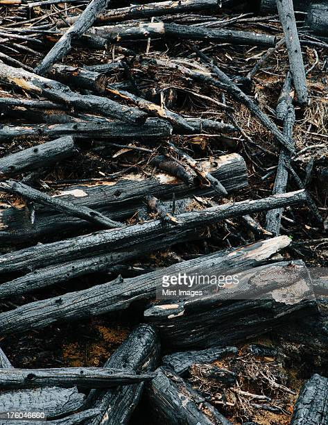Burned logs and debris from clear cut forest, Olympic National Forest, USA