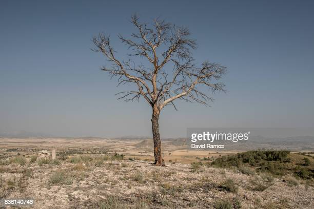 A burned tree is seen on July 28 2017 in Zarcilla de Ramos Spain As the severe drought in Spain's Southeastern regions of Albacete Guadalajara Murcia...