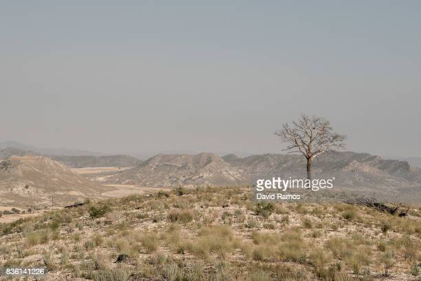 A burned tree is seen on July 28 2017 in Zarcilla de Ramos Spain As the severe drought in Spain's Southeastern regions of Albacete Guadalajara Murcia...