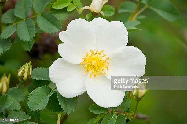 Burnet Rose -Rosa spinosissima-, flowering, Thuringia, Germany