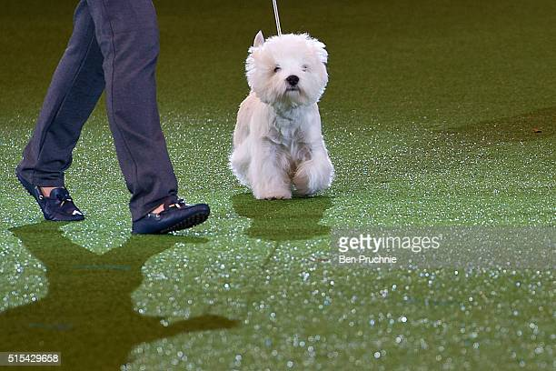 Burneze Geordie Girl is awarded Best In Show at Crufts Dog Show 2016 on March 13 2016 in Birmingham England First held in 1891 Crufts is said to be...