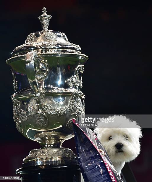 'Burneze Geordie Girl' the West Highland White Terrier with her trophy as the winner of the Best in Show competition at the Crufts Dog Show in...