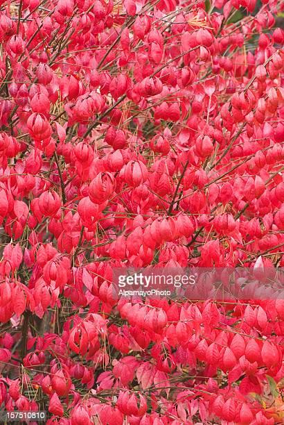 Burning Bush plant (Euonymus alatus) - II