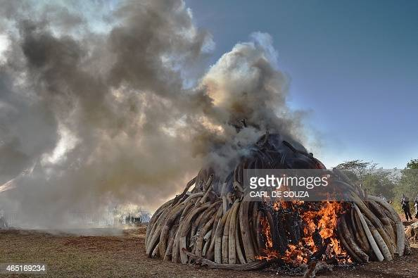 A burning pile of 15 tonnes of elephant ivory seized in kenya at Nairobi National Park on March 3 2015 15 tonnes is the largest amount of contraband...