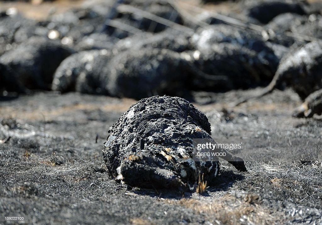 Burnt dead sheep lie in a paddock where they tried to break through a fence as a recent bushfire raged near Bookham, a small village in the Yass Shire in the southern region of Australia's New South Wales state, on January 10, 2013. Fires have been raging across Australia for nearly a week and while many have been contained, 126 are still burning and at least 15 remain out of control in the country's most populous state, New South Wales. GRAPHIC CONTENT AFP PHOTO / Greg WOOD