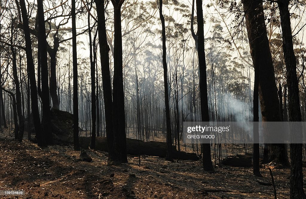 Burnt trees from the Deans Gap fire are shown near Nowra on the south coast of Australia's New South Wales state on January 9, 2013. Cooler conditions helped firefighters battling blazes across Australia on January 9 but up to 30 were still out of control. AFP PHOTO / Greg WOOD