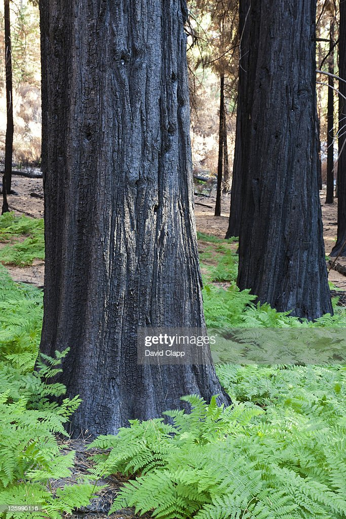 Burnt trees left over from a forest fire in Kings Canyon National Park in East Central California, in Sierra Nevada, California, United States of America : Stock Photo