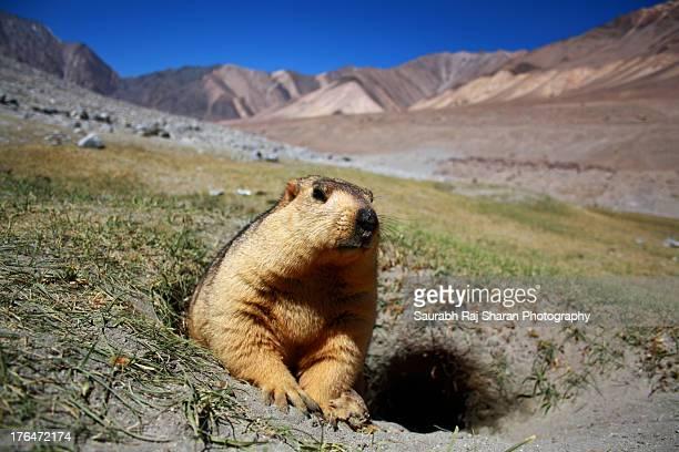 Burrow and the Marmot