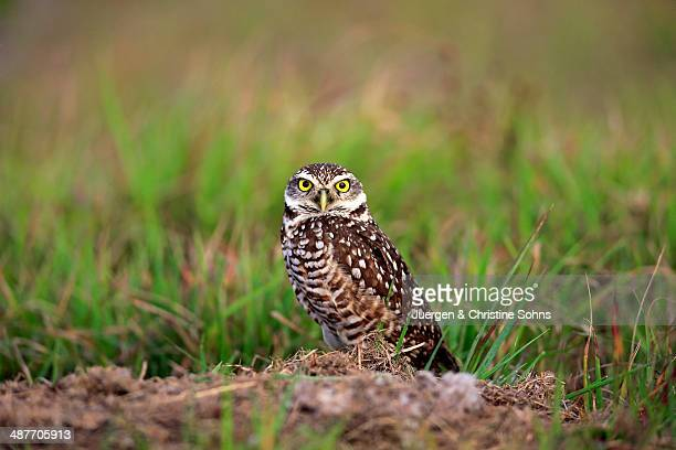 Burrowing Owl -Athene cunicularia- adult, at den, Florida, United States