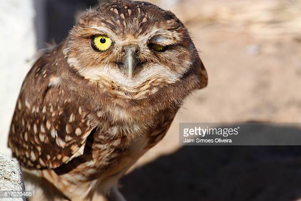 Burrowing Owl Blinking
