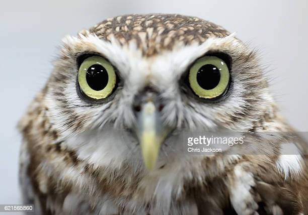 A burrowing owl called 'baby' during a visit by Camilla Duchess of Cornwall to the Abu Dhabi Falcon Hospital on the second day of a Royal tour of the...