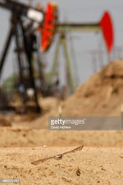 A burrowing owl flies near pump jacks in an oil field over the Monterey Shale formation where gas and oil extraction using hydraulic fracturing or...