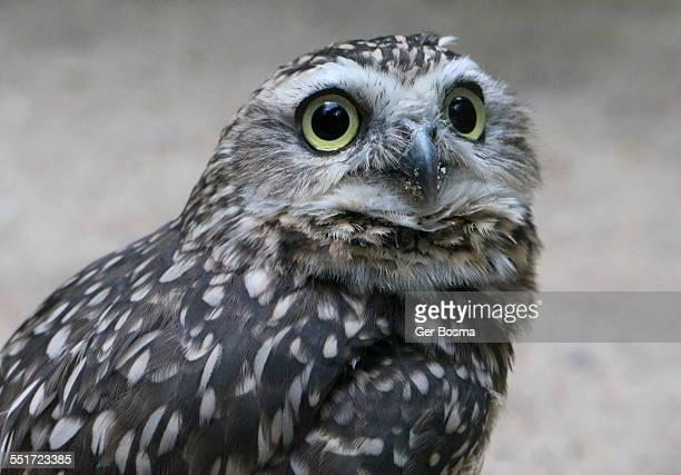 Burrowing Owl Glamour