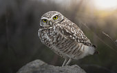 Burrowing Owl Perched on a Rock and Intently Staring