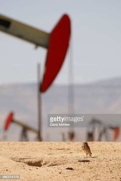 A burrowing owl stands next to its burrow near pump jacks in an oil field over the Monterey Shale formation where gas and oil extraction using...