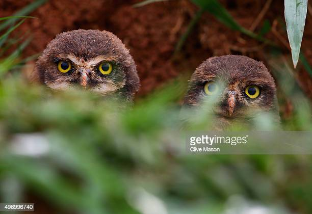 Burrowing owls at the side of the track during practice for the Formula One Grand Prix of Brazil at Autodromo Jose Carlos Pace on November 13 2015 in...