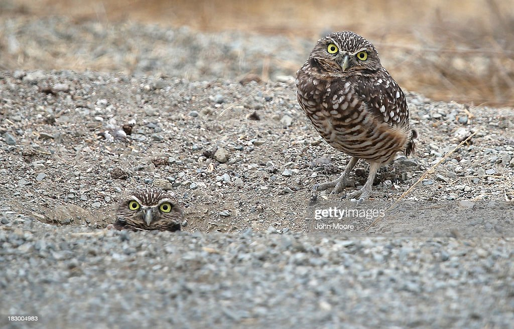 Burrowing owls stand guard near their home next to the U.S.-Mexico border fence on October 3, 2013 near San Ysidro, California. While hundreds of thousands of government workers were furloughed due to the federal shutdown, thousands of Border Patrol agents, air-traffic controllers, prison guards and other federal employees deemed 'essential' remain on duty, although their pay may be delayed.
