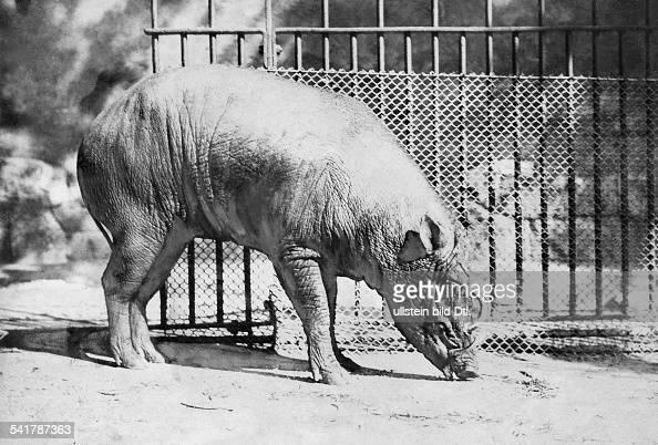 Buru Babirusa also known as the Golden Babirusa or Hairy Babirusa Published by 'Berliner Illustrirte Zeitung' 46/47/1923Vintage property of ullstein...