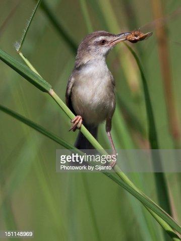 Burung Ciblek Stock Photo | Getty Images