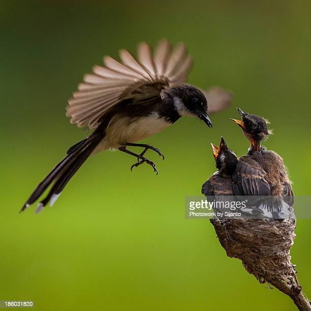 Burung Kapasan - Male