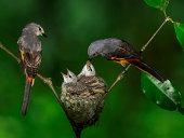 Burung Tledekan Gunung