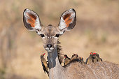 A Female of Kudu taking around a group of 10 Oxpeckers in Caprivi Area - Namibia