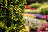 Bush of arborvitae leaves in the blurred background of colorful beds of flowers. Decorative thuja tree in the garden. Selective focus floral photography. Shallow depth of field.