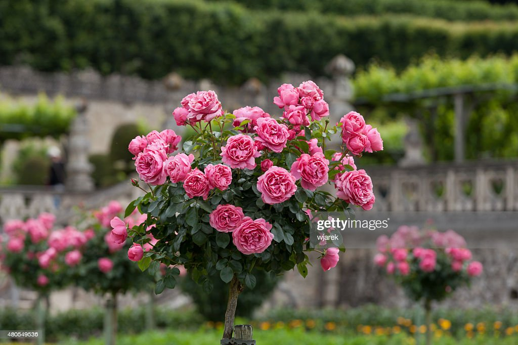 Bush of beautiful pink roses : Stock Photo