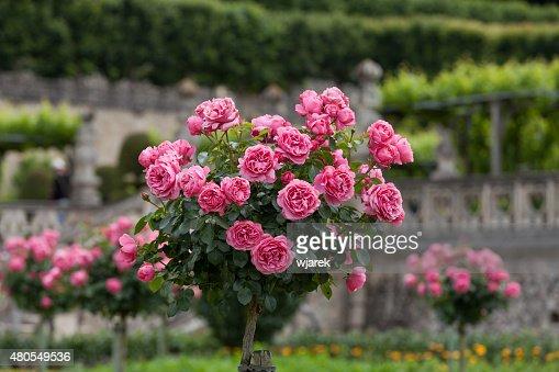 Arbusto de rosas rosadas hermosa : Foto de stock