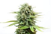 Marijuana plants growing indoors. Isolated on white