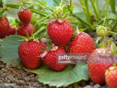 Bush of strawberry : Stock Photo
