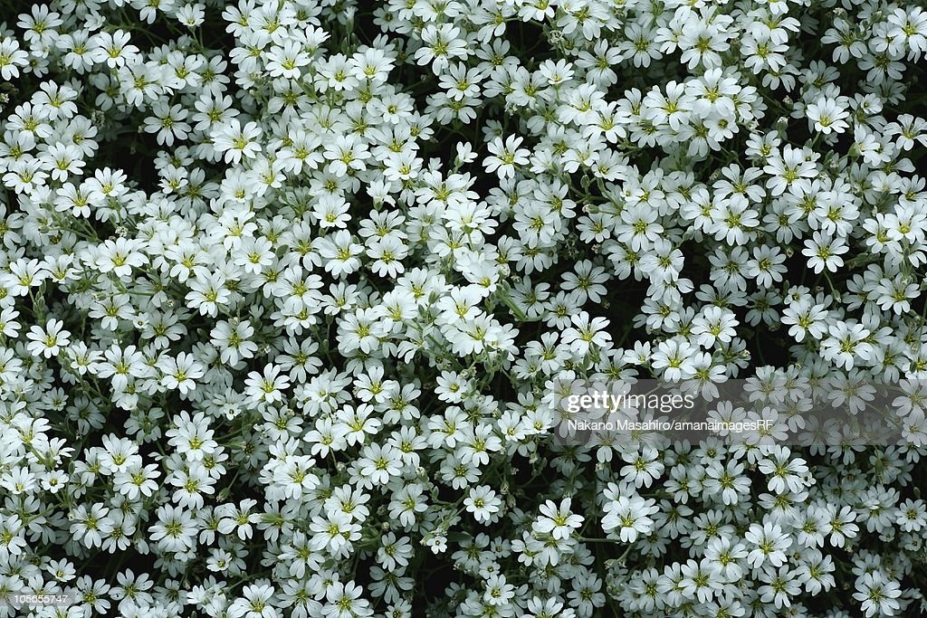 Snow In Summer Seeds - Cerastium Snow In Summer Ground Cover Seed