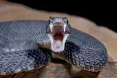Male Venomous Black Bush Viper Snake (Atheris squamigera)displaying fangs and aggression