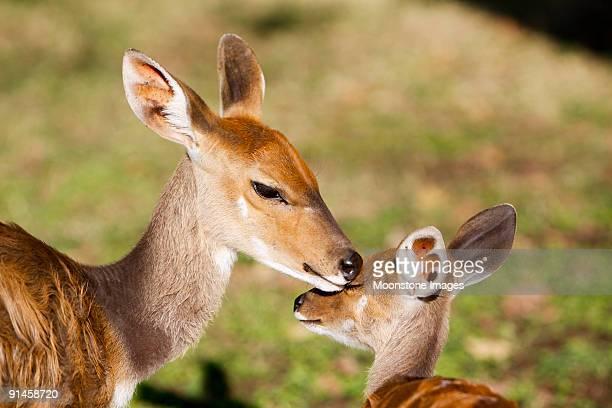 Buschbock und baby im Kruger Nationalpark, Südafrika
