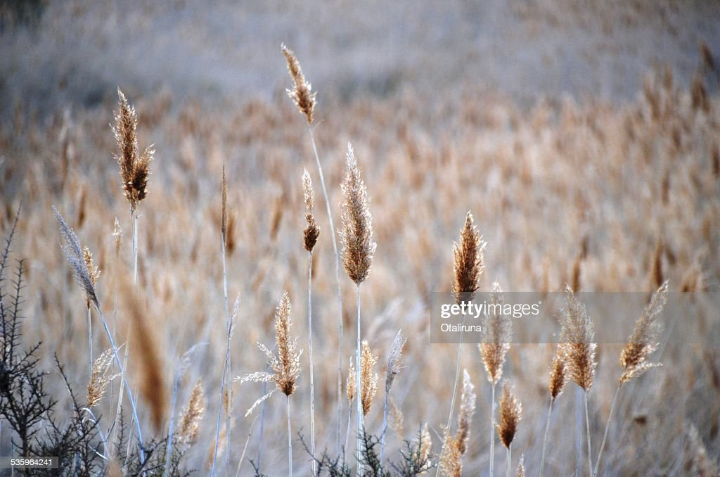 Bushes and reedbed : Stock Photo