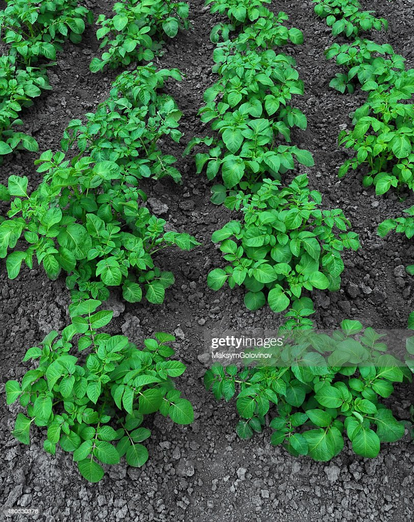 Bushes of potatoes : Stock Photo