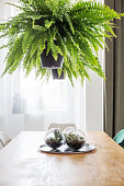 Bushy fern hanging in a black flowerpot over a dining room table in an apartment interior