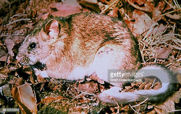 A Bushytailed woodrat Neotoma cinerea is known to carry fleas inoculated with the plague bacteria Y pestis 1993 All woodrat species are quick to...