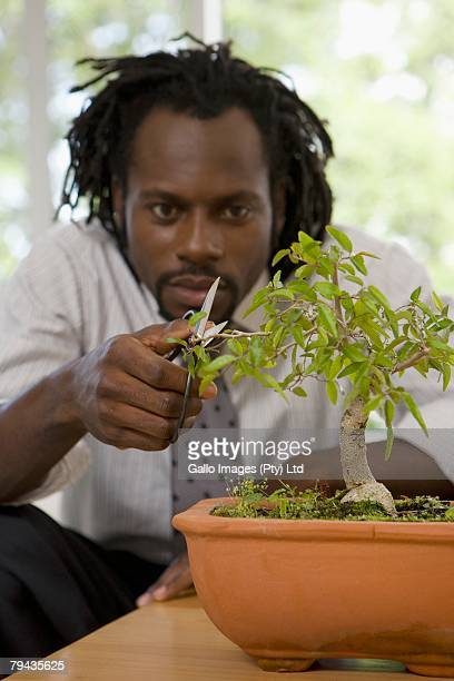 Businessman taking time out to carefully prune his bonsai tree, Cape Town, Western Cape Province, South Africa
