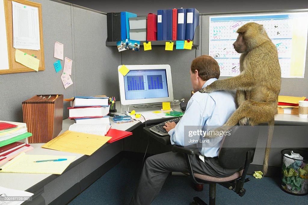 Businessman woking on computer at desk, baboon on back