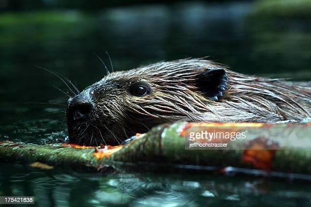 Beschäftigt Beaver