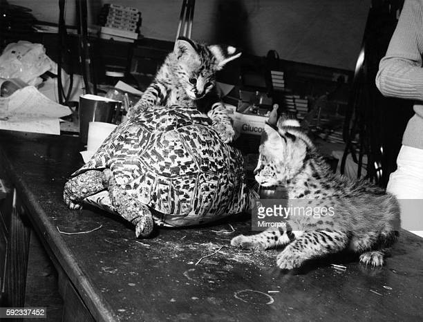 But in a year or so they will grow up into quite a handful They are servals or African tigercats and they are the first to be privately bred in...