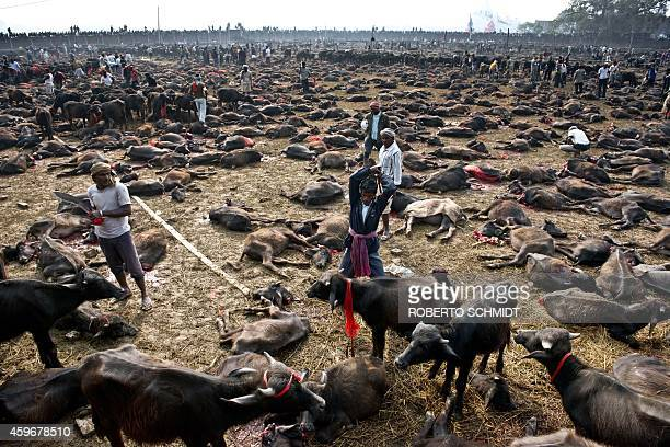 A butcher gets ready to kill a buffalo during a mass slaughter of the animals for the Gadhimai festival inside a walled enclosure in the village of...