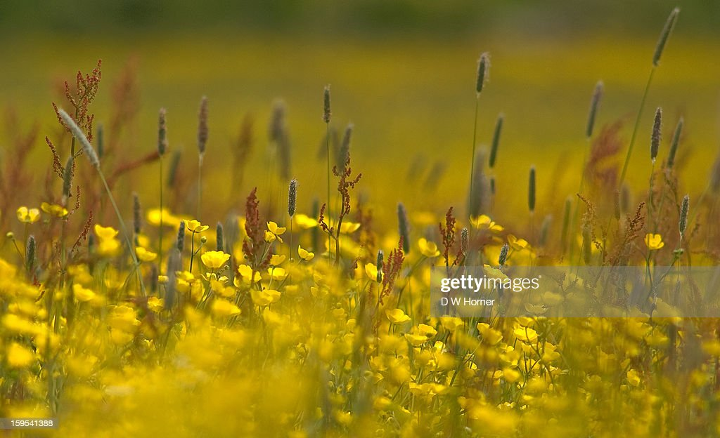 Buttercup Meadow : Stock Photo