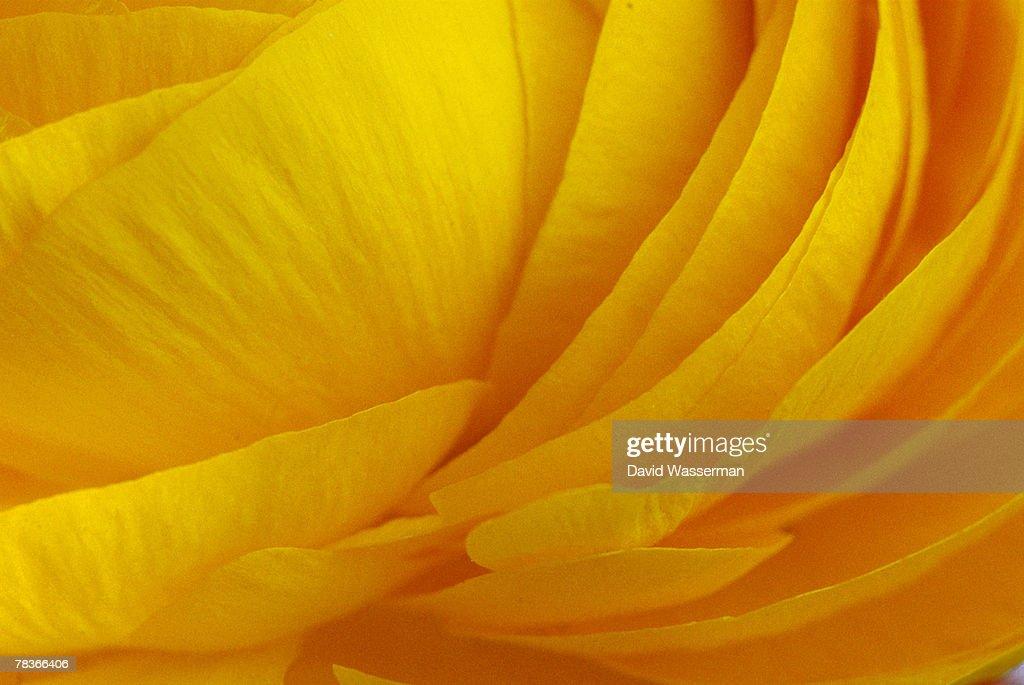 Buttercup petals : Stock Photo