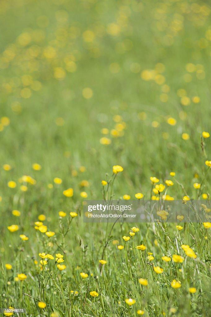 Buttercups growing in field : Stock Photo