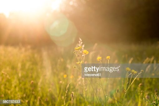 Buttercups on a meadow at evening light